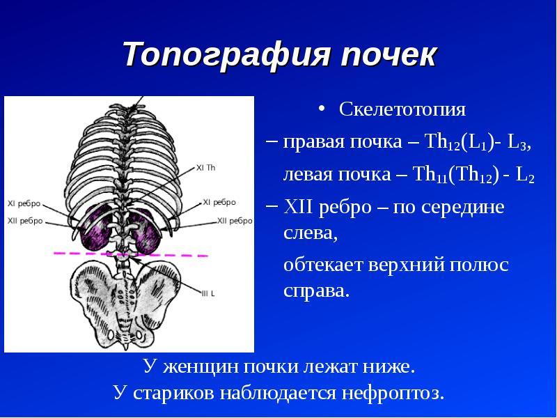 Топография почек Скелетотопия правая почка – Th12(L1)- L3, левая почка – Th11(Th12) - L2 XII ребро –