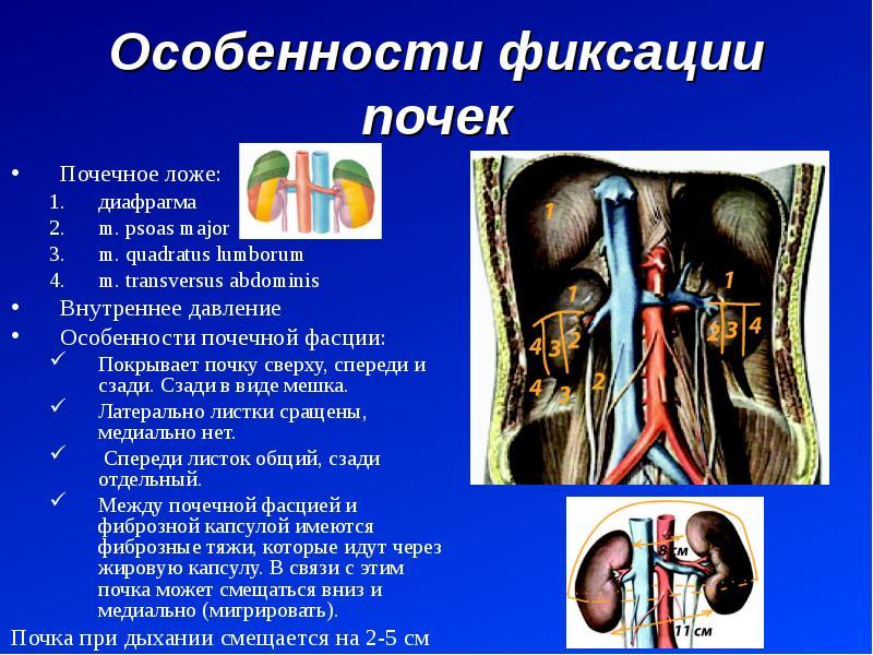 Особенности фиксации почек Почечное ложе: диафрагма m. psoas major m. quadratus lumborum m. transver