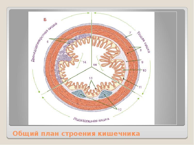 Общий план строения кишечника