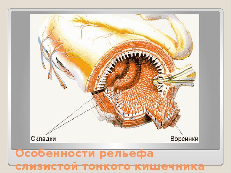 Особенности рельефа слизистой тонкого кишечника