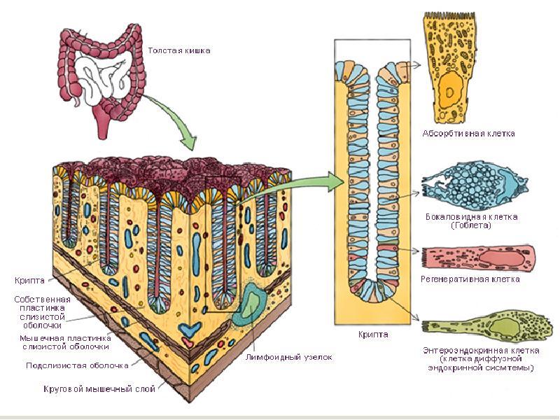 Пищеварительная система. Средний и задний отдел., слайд 19