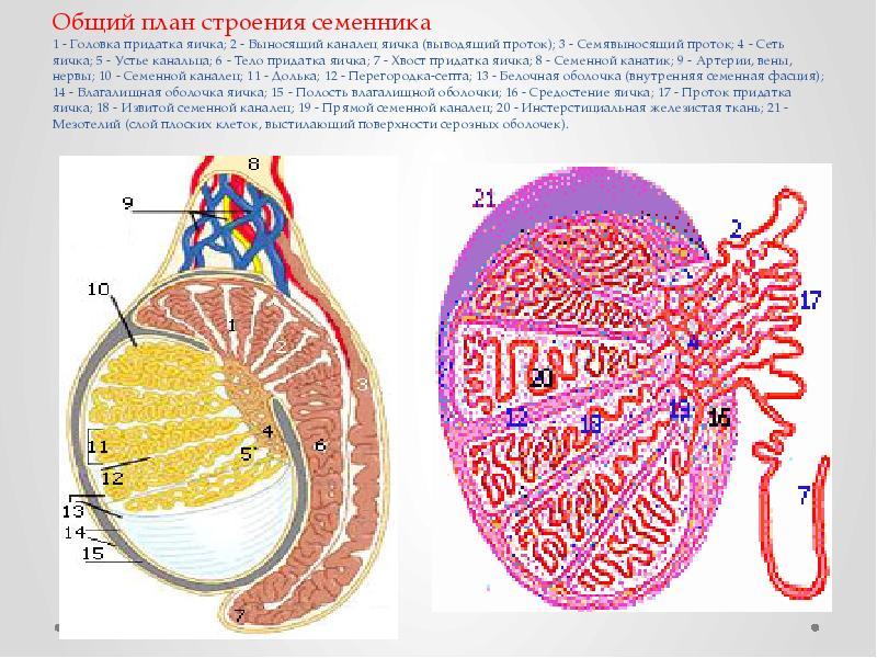 Общий план строения семенника 1 - Головка придатка яичка; 2 - Выносящий каналец яичка (выводящий про