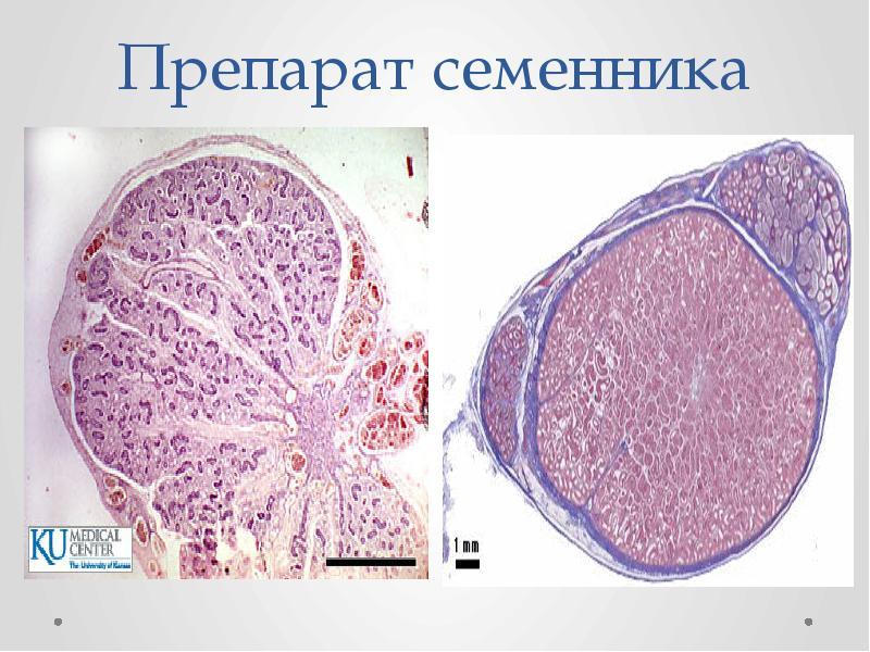 Препарат семенника