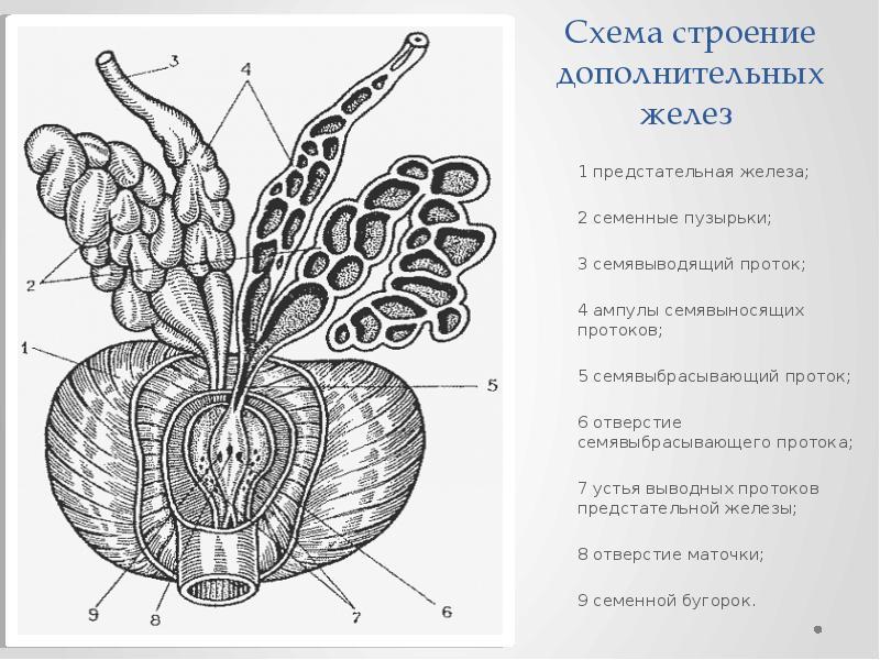 Схема строение дополнительных желез 1 предстательная железа; 2 семенные пузырьки; 3 семявыводящий пр