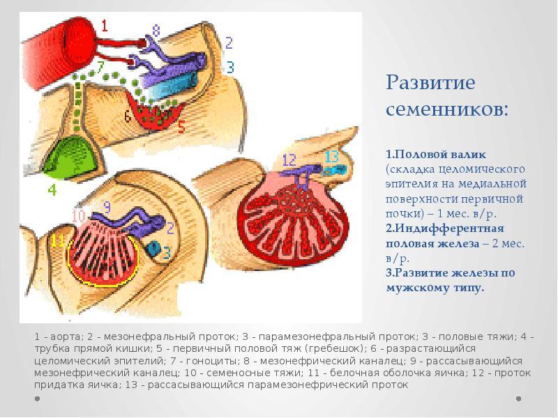 Развитие семенников: 1. Половой валик (складка целомического эпителия на медиальной поверхности перв