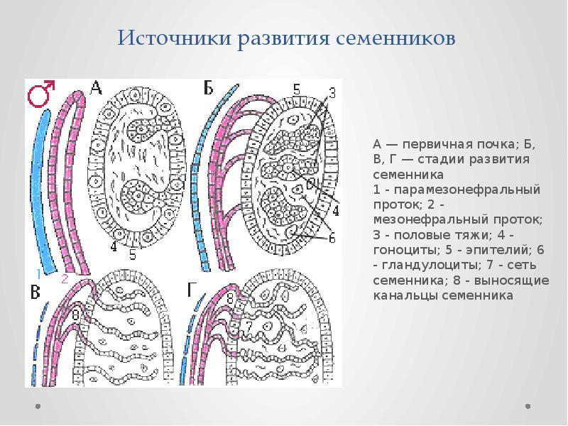 Источники развития семенников А — первичная почка; Б, В, Г — стадии развития семенника 1 - парамезон