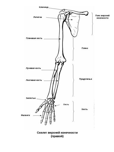 Рука-общий вид