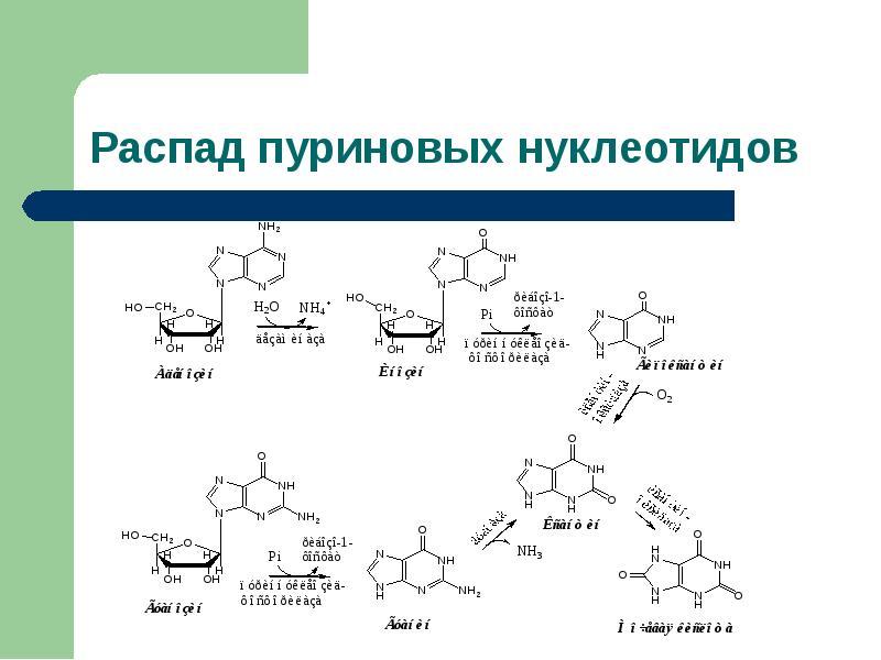 Болезни обмена пуринов и пиримидинов Витамины, участвующие в биосинтезе азотистых оснований, слайд 19