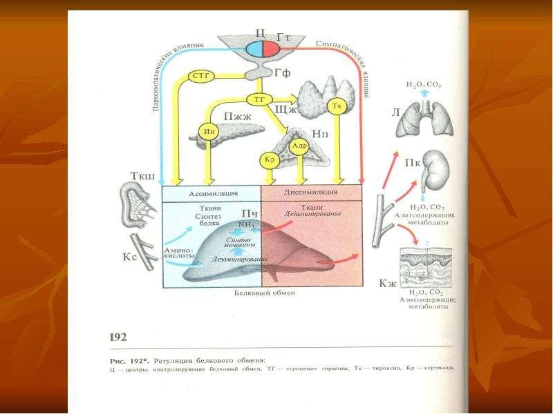 Физиология обмена веществ и терморегуляции, рис. 11