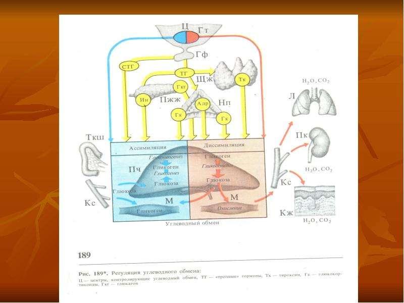 Физиология обмена веществ и терморегуляции, рис. 17