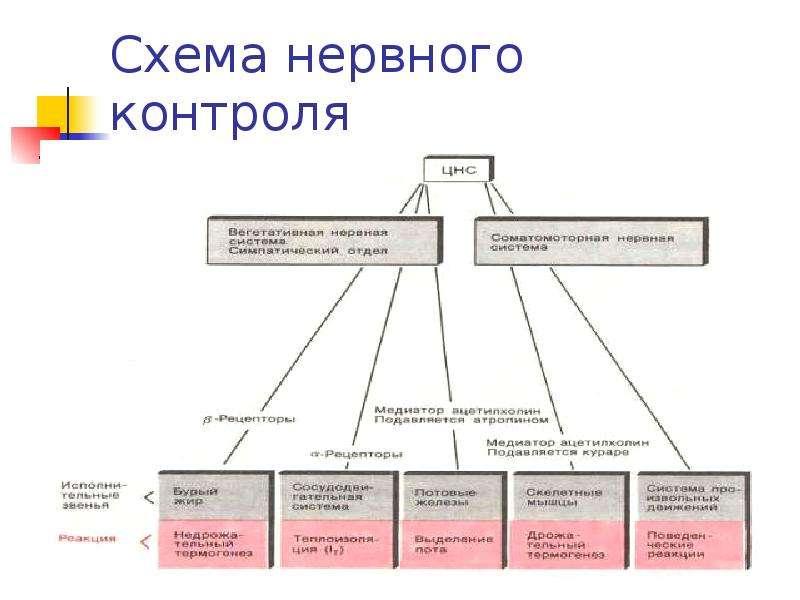Схема нервного контроля терморегуляции