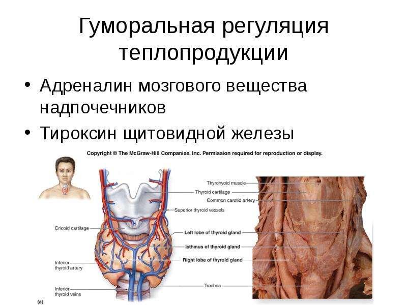 Гуморальная регуляция теплопродукции Адреналин мозгового вещества надпочечников Тироксин щитовидной