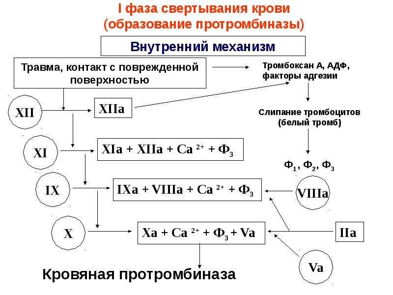 Физиологические основы свертывания и переливания крови, слайд 19