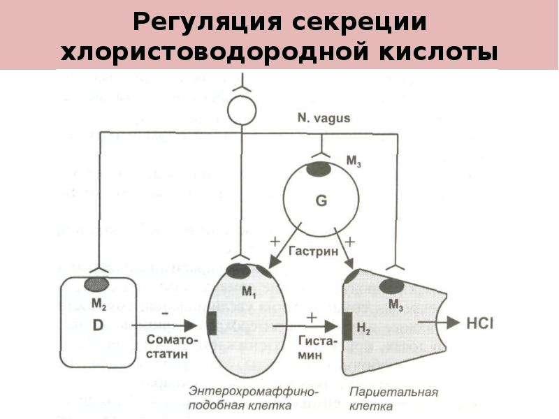 Регуляция секреции хлористоводородной кислоты