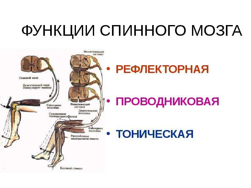 ФУНКЦИИ СПИННОГО МОЗГА РЕФЛЕКТОРНАЯ ПРОВОДНИКОВАЯ ТОНИЧЕСКАЯ