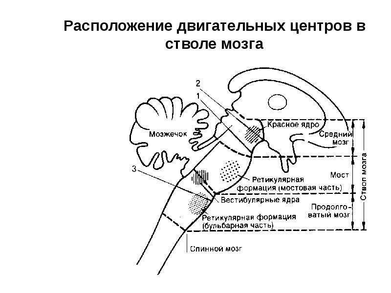 Расположение двигательных центров в стволе мозга