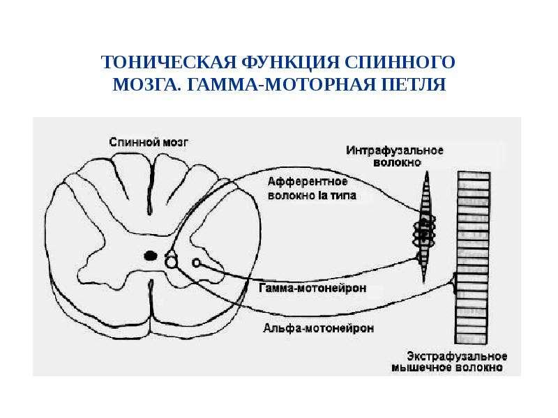 Возрастные особенности соматических функций, слайд 9