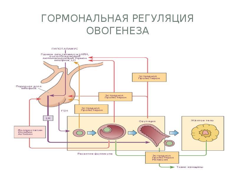 регуляция гормонов картинки