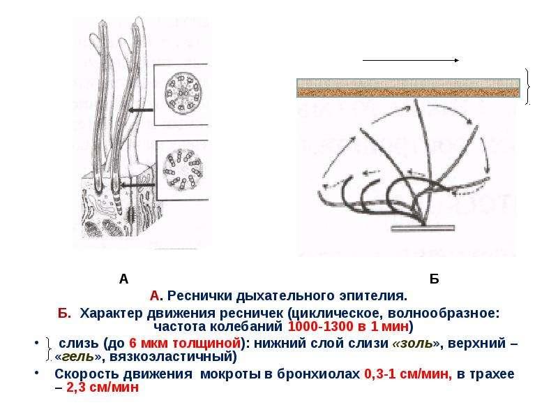 А Б А Б А. Реснички дыхательного эпителия. Б. Характер движения ресничек (циклическое, волнообразное