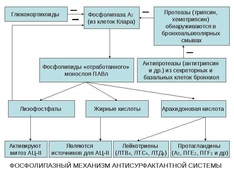 ФОСФОЛИПАЗНЫЙ МЕХАНИЗМ АНТИСУРФАКТАНТНОЙ СИСТЕМЫ