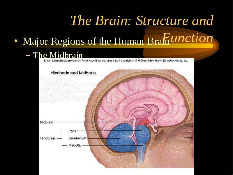 five major structures of the brain Major structures of the brain myelencephalon = medulla  daily quiz 3 describe the overall layout of the divisions and systems of the mammalian nervous system.