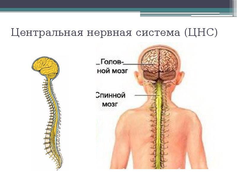 Центральная нервная система (ЦНС)