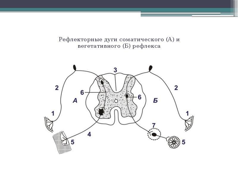 Рефлекторные дуги соматического (А) и вегетативного (Б) рефлекса