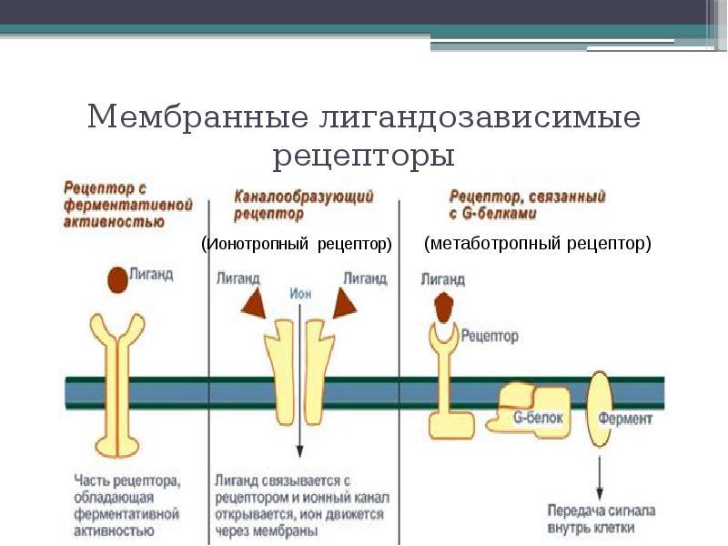 Мембранные лигандозависимые рецепторы