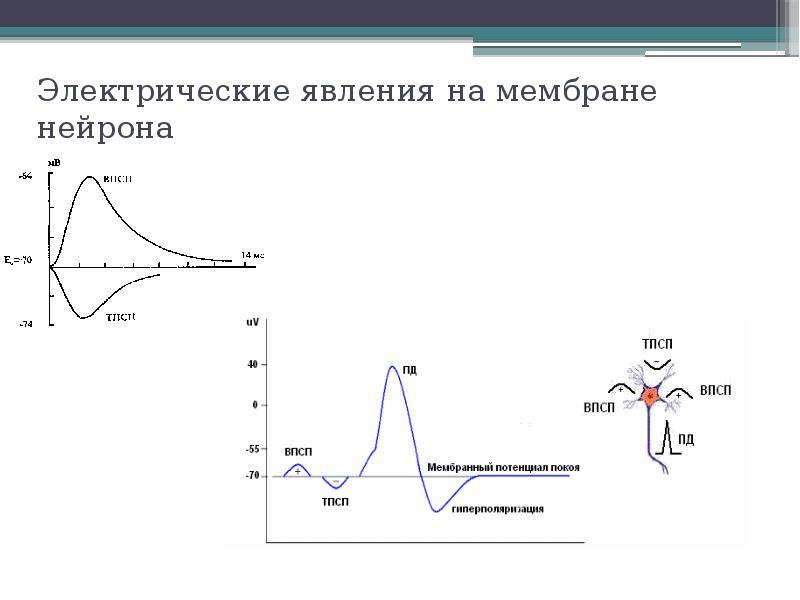 Электрические явления на мембране нейрона