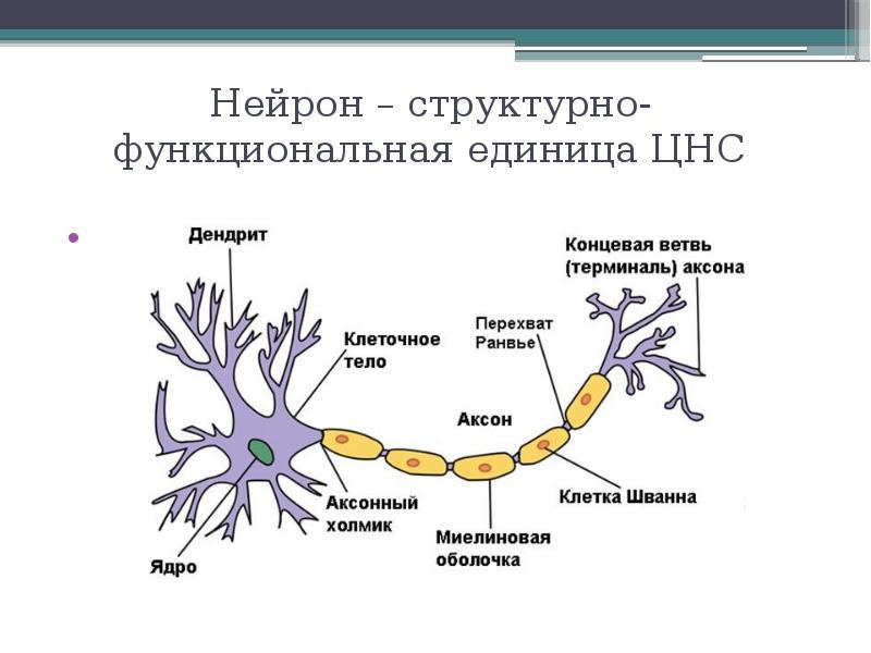 Нейрон – структурно-функциональная единица ЦНС