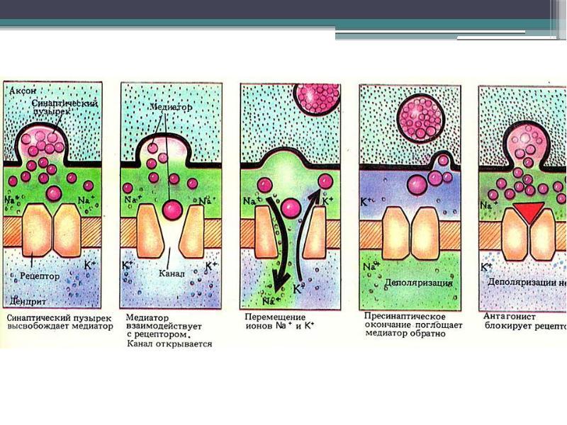 Физиология центральной нервной системы Рефлекс, рефлекторная дуга, синапс, нервные центры, слайд 44