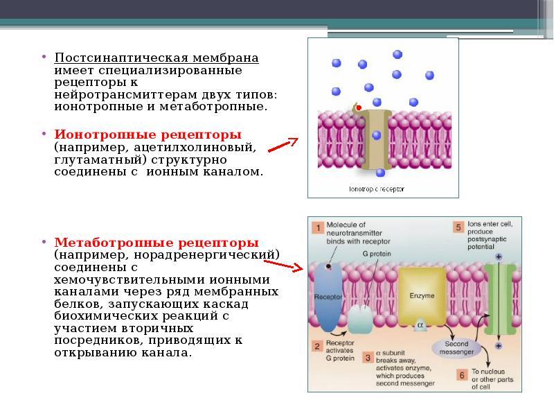 Постсинаптическая мембрана имеет специализированные рецепторы к нейротрансмиттерам двух типов: ионот