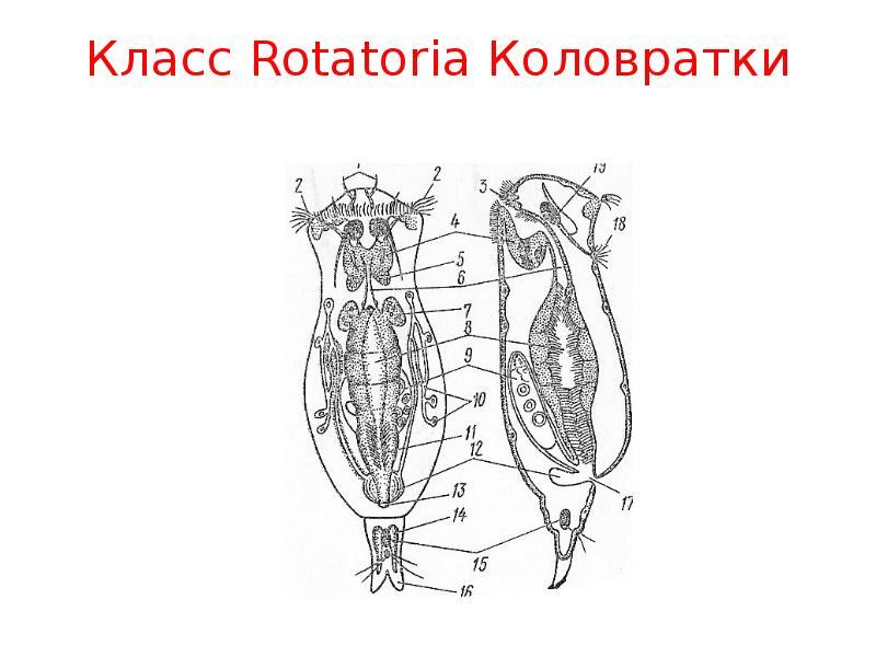 Класс Rotatoria Коловратки