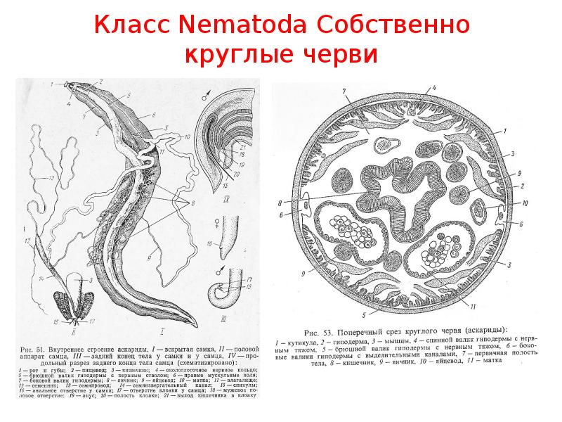 Класс Nematoda Собственно круглые черви