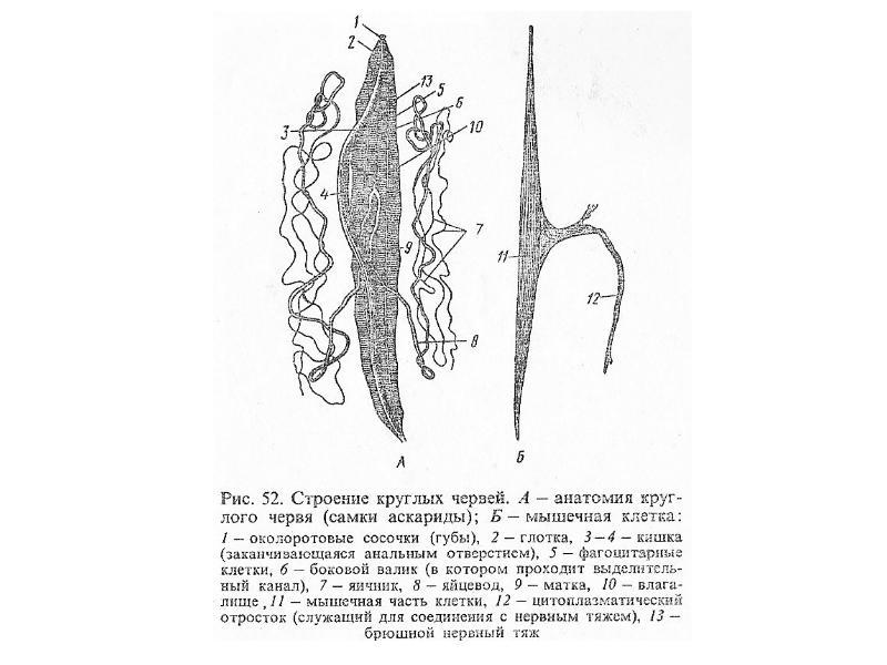 Тип Круглые черви Nemathelminthes, рис. 6