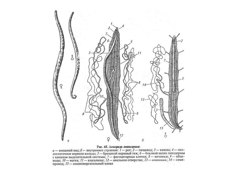 Тип Круглые черви Nemathelminthes, рис. 7