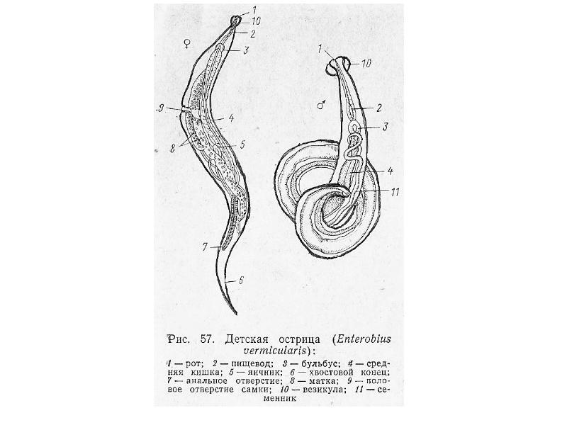 Тип Круглые черви Nemathelminthes, рис. 8