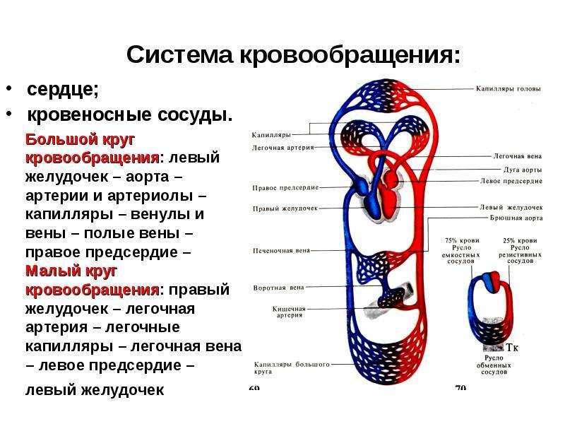 Система кровообращения: сердце; кровеносные сосуды.