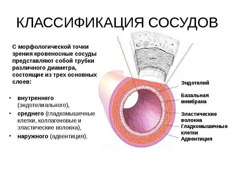 КЛАССИФИКАЦИЯ СОСУДОВ внутреннего (эндотелиального), среднего (гладкомышечные клетки, коллагеновые и