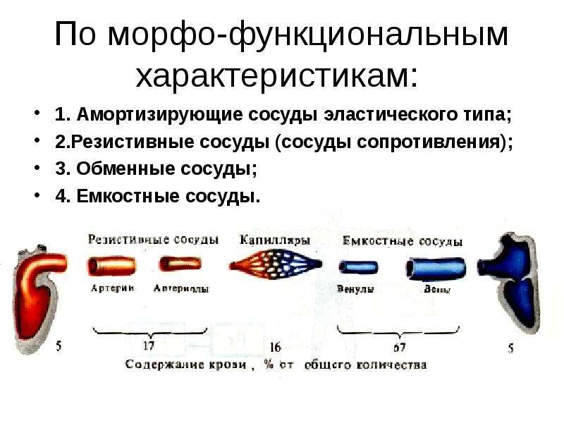 По морфо-функциональным характеристикам: 1. Амортизирующие сосуды эластического типа; 2. Резистивные