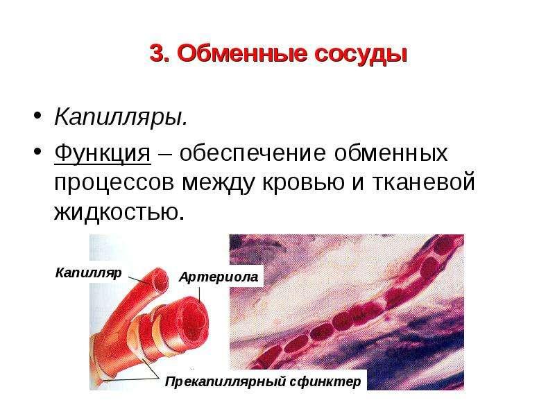 3. Обменные сосуды Капилляры. Функция – обеспечение обменных процессов между кровью и тканевой жидко