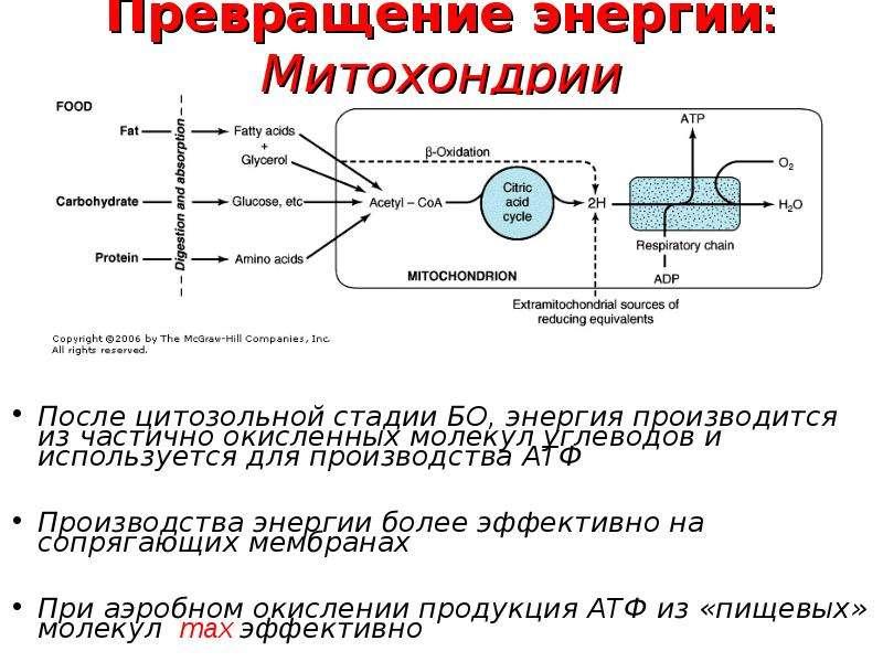 Превращение энергии: Митохондрии После цитозольной стадии БО, энергия производится из частично окисл