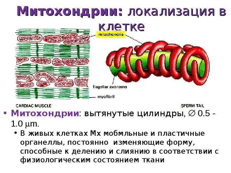 Митохондрии: локализация в клетке Митохондрии: вытянутые цилиндры,  0. 5 - 1. 0 m. В живых клетках