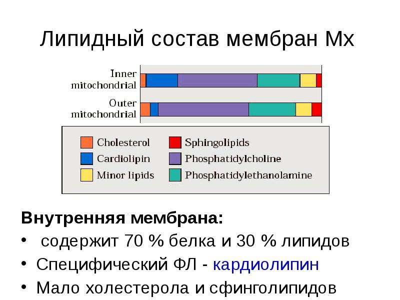Липидный состав мембран Мх Внутренняя мембрана: содержит 70 % белка и 30 % липидов Специфический ФЛ