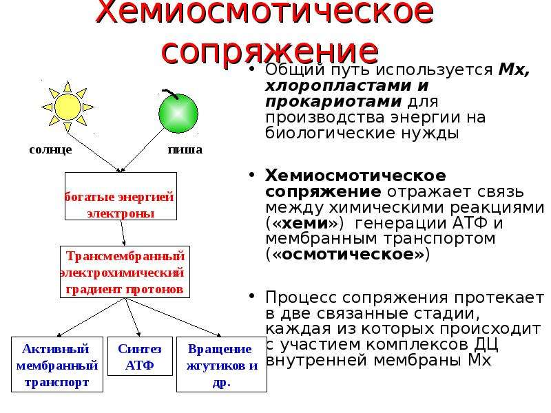 Хемиосмотическое сопряжение Общий путь используется Мх, хлоропластами и прокариотами для производств