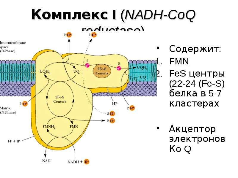 Комплекс I (NADH-CoQ reductase)