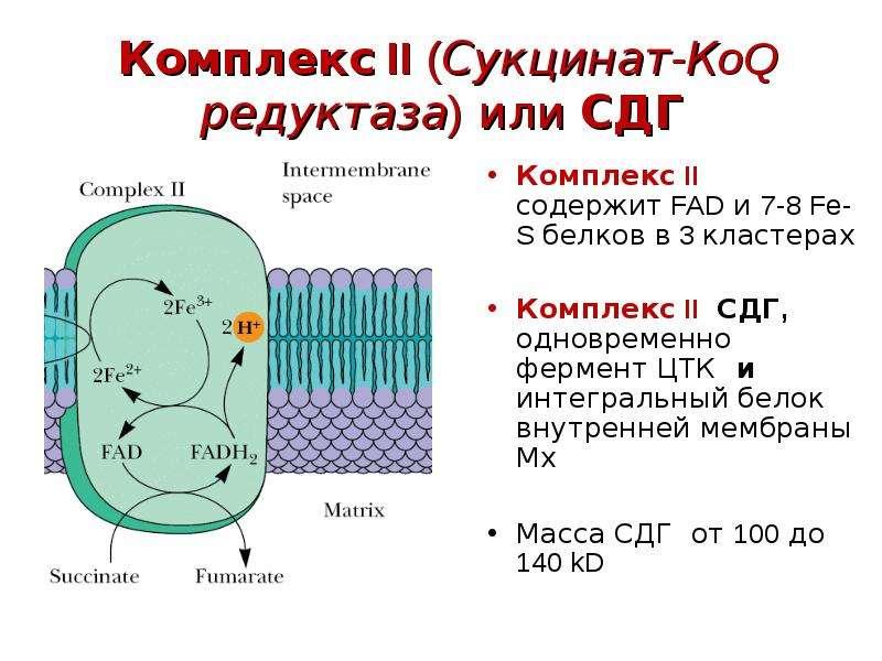 Комплекс II (Сукцинат-КoQ редуктаза) или СДГ Комплекс II содержит FAD и 7-8 Fe-S белков в 3 кластера