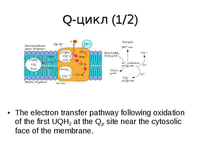 Q-цикл (1/2) The electron transfer pathway following oxidation of the first UQH2 at the Qp site near
