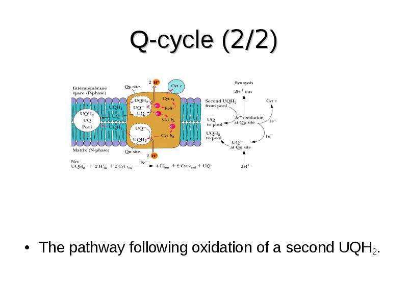 Q-cycle (2/2) The pathway following oxidation of a second UQH2.