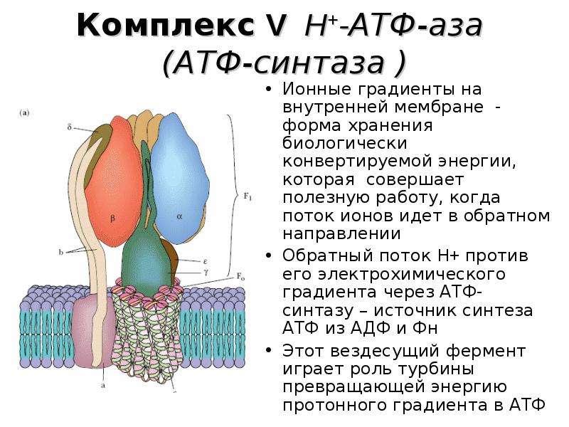 Комплекс V H+-АТФ-аза (АТФ-синтаза ) Ионные градиенты на внутренней мембране - форма хранения биолог